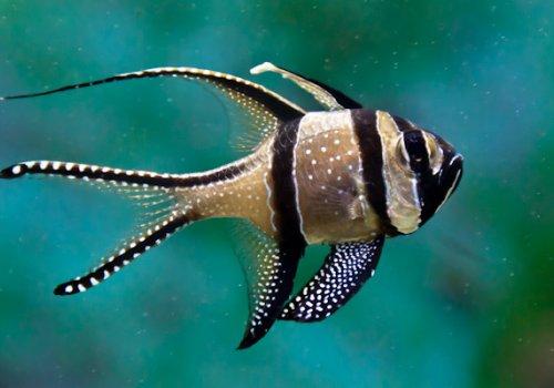 Тюлевый апогон (Pterapogon kauderni)