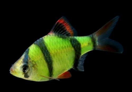 Барбус электрик грин (Electric Green Barb GloFish)