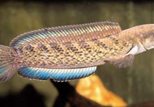 Змееголов украшенный (Channa ornatipinnis)