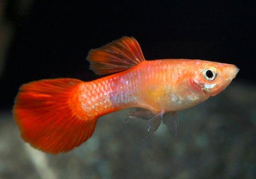 Гуппи красный коралл (Guppy Red Coral)